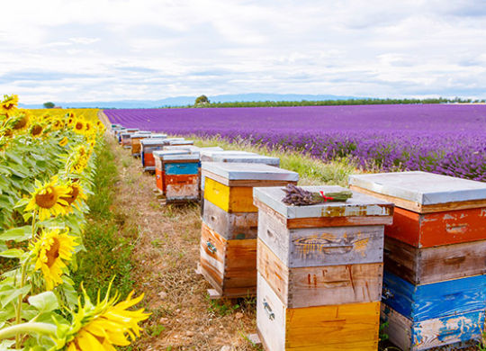 Bee hives on lavender and sunflower fields, near Valensole, Provence. France. Famous, popular destination  for tourists for making vacations in summer.